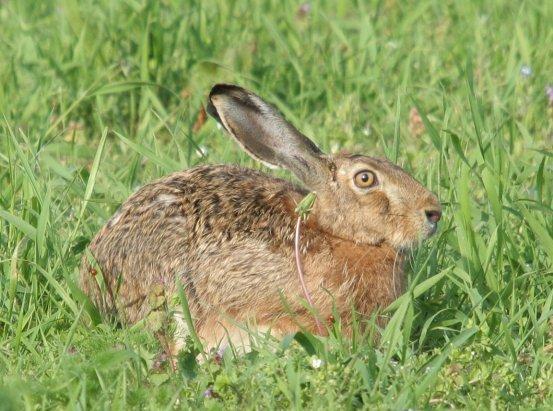 Je nejpočetněji zastoupena drobná zvěř hlavně pak zajíc